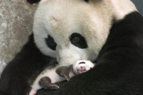 Bebé de oso panda en los brazos protectores de su madre