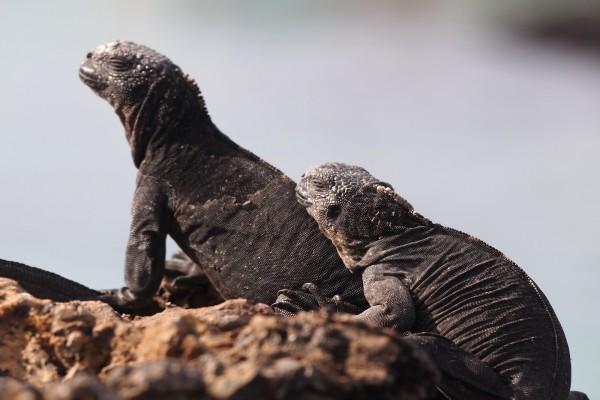 Pareja de iguana marina (Amblyrhynchus cristatus)