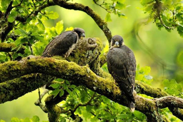 Dos halcones peregrinos sobre una rama