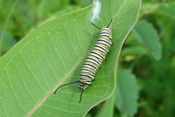 Una oruga monarca sobre una hoja verde