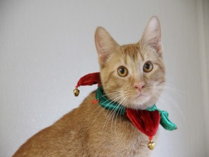 Un gato arlequín