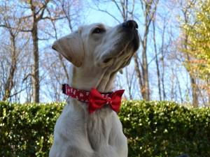 Postal: Perro con una pajarita navideña