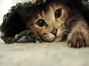 Un gato escondido bajo la manta