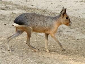Postal: Mara o liebre patagónica (Dolichotis patagonum)