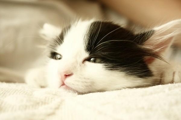 La cabeza de un gato blanco y negro