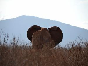 Postal: El trasero de un elefante