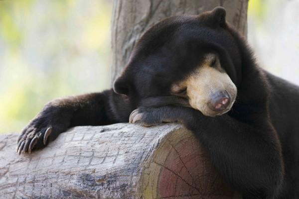 Un pequeño oso dormido