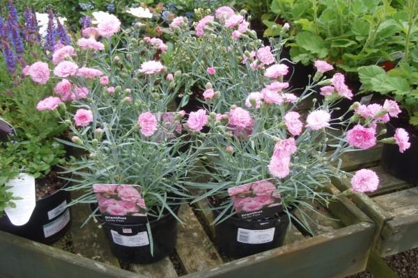Macetas con claveles rosas