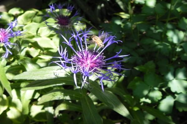 Una abeja rondando sobre una flor