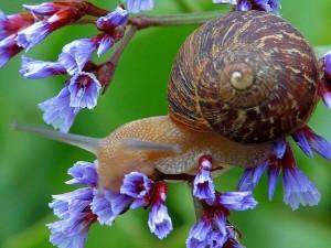 Postal: Caracol sobre pequeñas flores color púrpura
