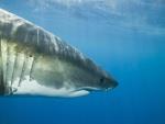Perfil de un tiburón