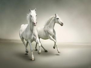 Dos caballos blancos en movimiento