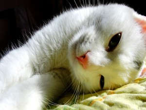 Un gato blanco tumbado