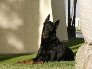 Un gran perro negro vigilando en el jardín