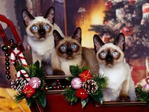 Tres gatos siameses entre la decoración de Navidad