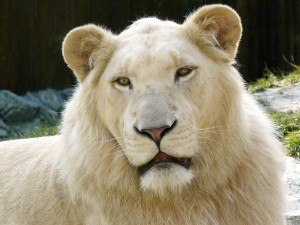 Postal: Un joven león
