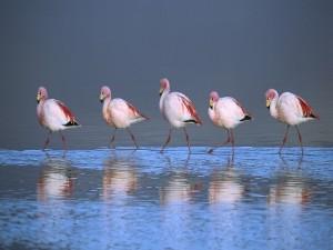Postal: Flamencos caminando en fila dentro del agua