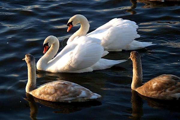 Una próspera familia de cisnes