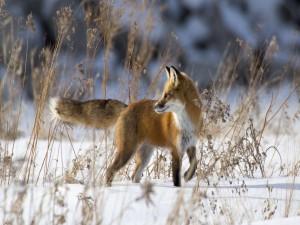Postal: Zorro rojo caminando en la nieve