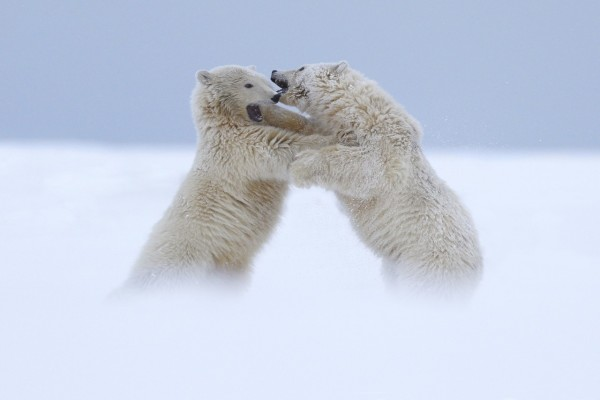 Dos osos polares peleándose