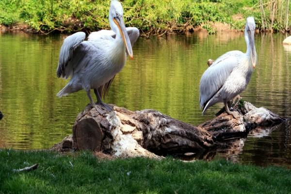 Dos pelícanos sobre un tronco