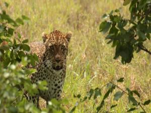 Un leopardo observando detrás de unas ramas con hojas