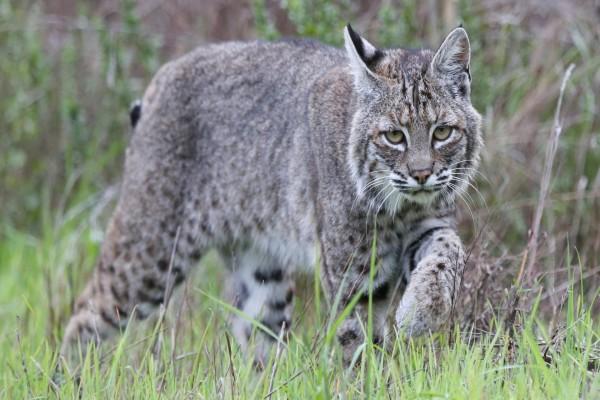 Un joven lince gris caminando entre las hierbas