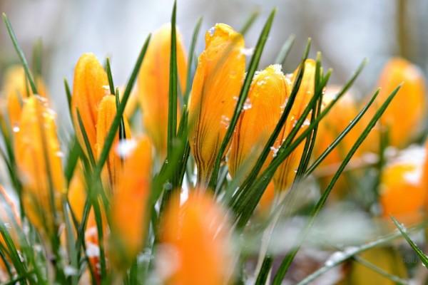 Copos de nieve sobre crocus amarillos