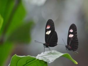 Dos mariposas negras sobre una hoja