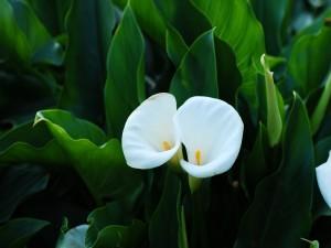 Calas blancas entre hojas verdes