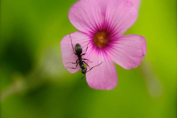 Una hormiga sobre una flor con pétalos rosas