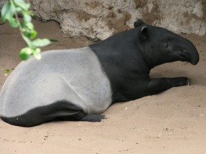 Tapir malayo (Tapirus indicus)