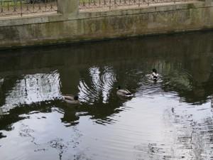 Patos nadando en un estanque