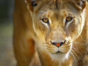 La mirada de una leona