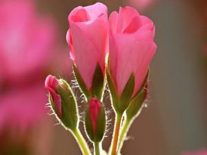 Postal: Magníficos pimpollos de rosa