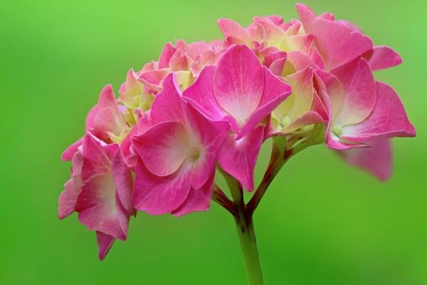 Rama con flores de ortensia color rosa