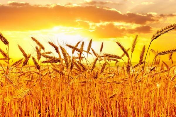 Espigas de trigo iluminadas por el brillante sol