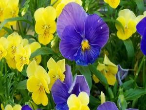 Postal: Pensamientos púrpuras y amarillos
