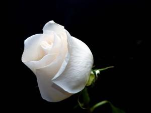 Espectacular rosa blanca en fondo negro