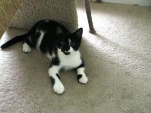 Postal: Un gato con manchas negras y blancas