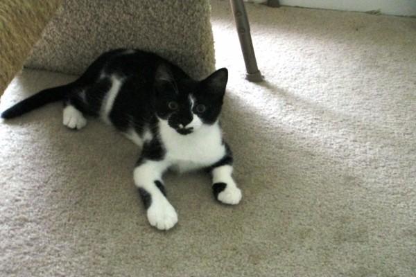 Un gato con manchas negras y blancas
