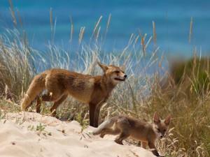 Postal: Cachorro de zorro junto a su madre cerca del mar
