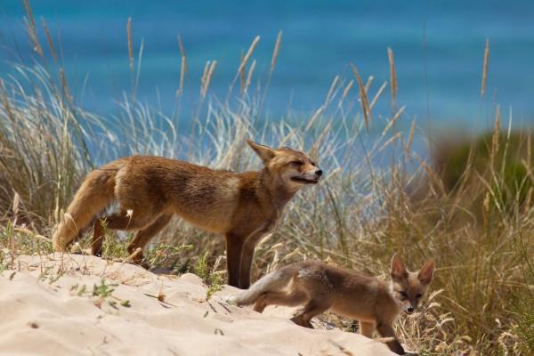 Cachorro de zorro junto a su madre cerca del mar