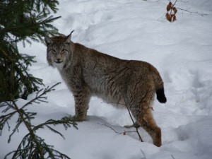 Un bello lince canadiense