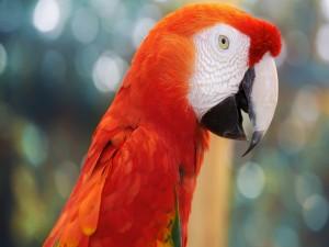 Un guacamayo rojo