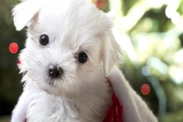 Un adorable perrito blanco