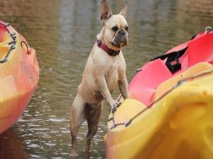 Perro junto a una canoa en un río