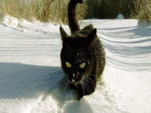 Gato cauteloso caminando en la nieve