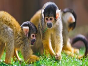 Monos juguetones en la hierba