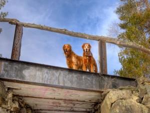 Perros en un puente